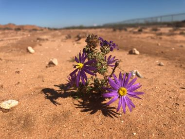 Flowers in the Desert Delfino